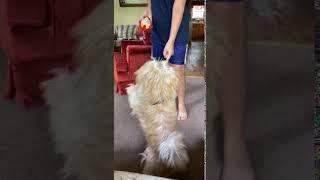 Schnauzer Puppies Videos