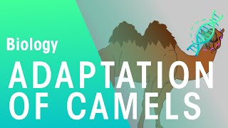 Adaptations Of Camels | Ecology & Environment | Biology | FuseSchool