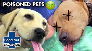 POISONED PETS!! ☠ 🐾 | Compilation | Bondi Vet