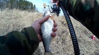 Совет ловля рыбца на шешупени