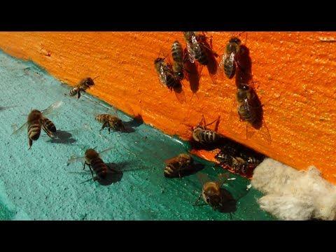 Иммунитет пчелы за последние 50 лет на пасике