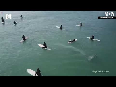 Whale Swims Very Close Under Group of Surfers