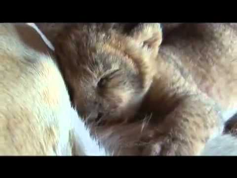 Making Friends With a Lioness and Cubs