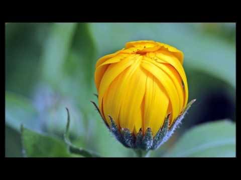 Aynısefa Bitkisi Nedir, Ne İşe Yarar, Faydaları Yararları Nelerdir?