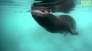 Diver has Amazing Encounter with Leopard Seal!