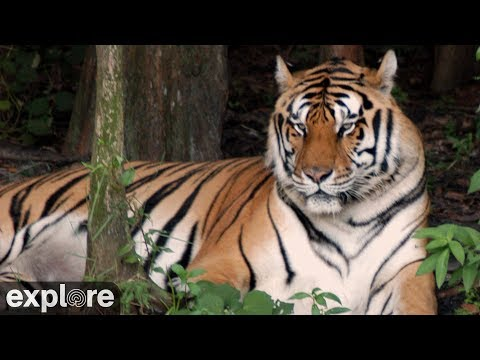 tiger, big cat, rescue, lake, water, zoo, park, animal