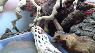 Varanus kingorum enclosure