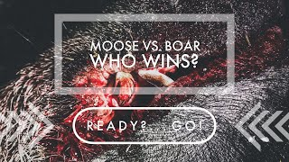 Moose vs. boar – Who wins?