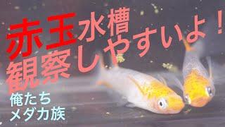メダカマニア宅突撃!第4弾!