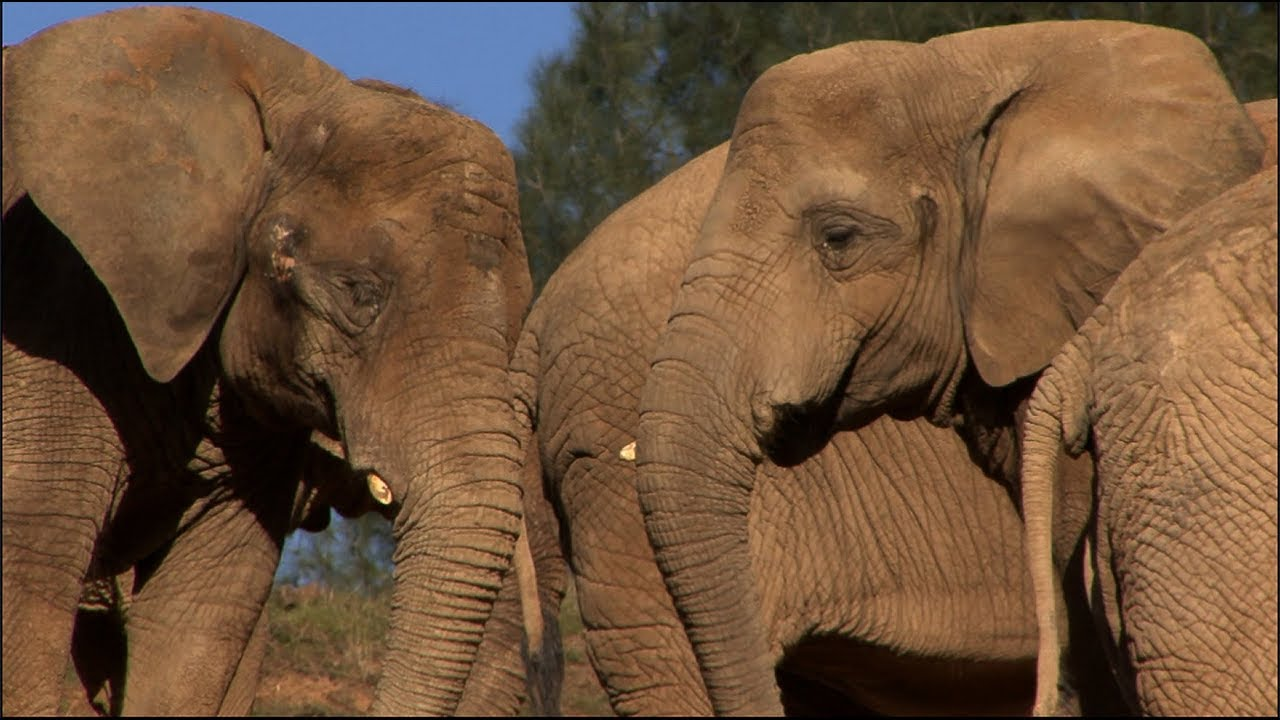 Maggie the Elephant Joins her Lifelong Group