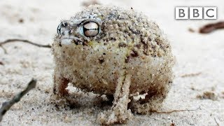A tiny angry squeaking Frog ? | Super Cute Animals - BBC