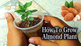 How to grow an Almond tree with easy process I Best method to Grow Almond Plant Step By Step