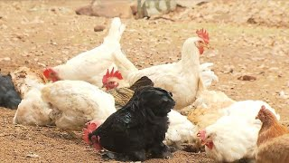 Silicon Valley Among The Many Areas With Backyard Chicken Coops