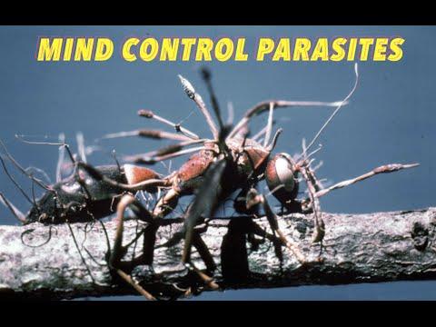 Hogy néz ki egy parazita fluke