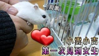 小雲小吉初次接觸女倉鼠小櫻🌸的反應! 小櫻獨有的遊樂場玩法!!