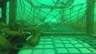 GoPro In A PEI Lobster Trap