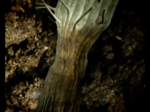 Pinworm ciszták