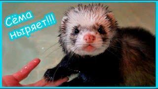 Сема ныряет!!!! Хорёк Ларин научился плавать!!!!
