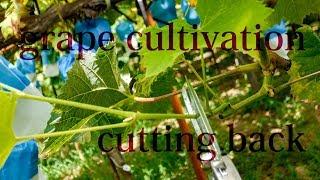 ブドウ袋掛け後の切り戻し剪定 Grape Cultivation (cutting Back)