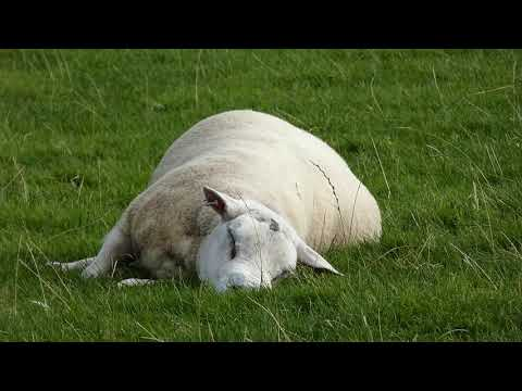 Lazy Sheep Enjoys Eating in it's Sleep