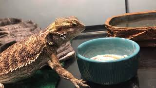 Bearded Dragon Eating Super Worms And A Chihuahua
