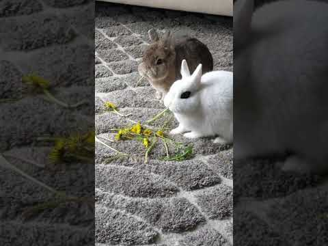 , title : 'Rabbits Eating Dandelions | Lily and Gizmo | The Fluffy Crew | #Shorts