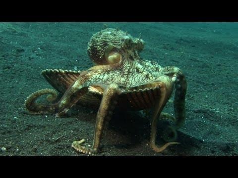 章魚偷貝殼變成家/