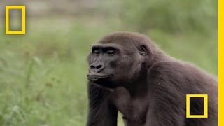 Gorilla vs. Gorilla | National Geographic thumbnail