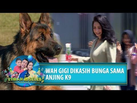WIHH! Gigi Dikasih Bunga Sama Anjing K9 - Rumah Seleb (21/8) PART 3