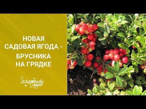 Новая садовая ягода - брусника на грядке