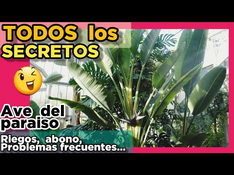 , title : '👉👉 Strelitzia nicolai CUIDADOS y características 🌟🌟🌟 Ave del paraíso RIEGOS, problemas FRECUENTES...