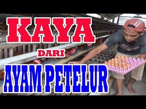 Video 081326912561 KAYA dari Ternak Ayam Petelur MODAL KECIL