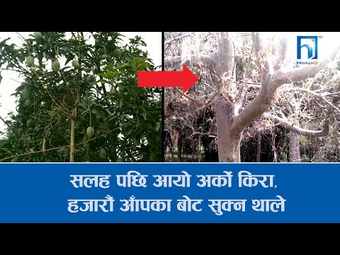 सलह पछि आयो अर्को नयाँ किरा, हजारौं आँपका बोट सुक्न थाले ! Himalaya Khabar