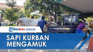 Sapi Kurban di Masjid Al Akbar Surabaya Lepas dan Mengamuk, Seorang Takmir Masjid Alami Patah Tulang