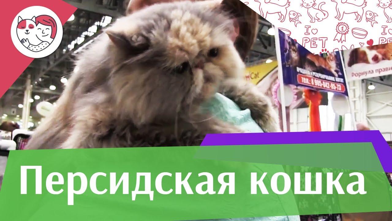 Персидская кошка на Кэтсбург 17 ilikepet