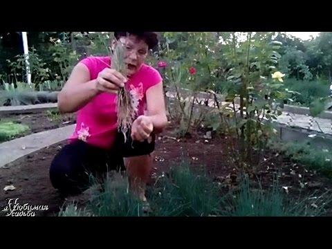 Декоративные луки посадка и уход. Лук шнитт выращивание и уход.
