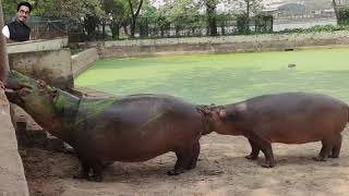 জলহস্তী || Hippopotamus || Bangladesh National Zoo, Mirpur || Oslife