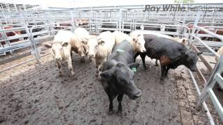 Mount Gambier Cattle Market Report - 6th January 2016