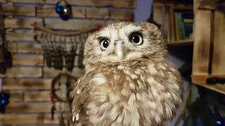 That's Yuinya for you. Testing Yt the scops owl's puffability using Yuinya the little owl.