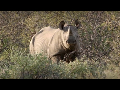 Saruni, the portfolio of safari properties in Kenya, is thrilled to release this exciting video about black rhino tracking at Sera Conservancy in Northern Kenya. British actress and conservationist Rula Lenska and her sister Anne have been our first guests and feature in the 3 minutes-long film, created by Russian videomaker Sergey Zamkovoy. Returned to their natural habitat after an absence of thirty years, the 11 black rhinos of Sera Conservancy offer Saruni guests the unique opportunity of on-foot tracking, surrounded by one of the most iconic landscapes in East Africa. The video takes you to the heart of this exceptional experience – centered on the rhinos but including the other amazing wildlife of Sera and its authentic Samburu culture - and shows you a day in the life of the newest safari property in Kenya. Happy watching! www.sarunirhinotracking.com