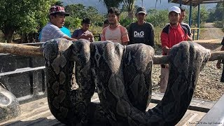 Ular Raksasa Sepanjang 7 Meter Ditangkap Warga Puuwanggudu Sulawesi Tenggara