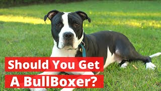 All About The Pitbull Boxer Mix (Bullboxer) | Should You Get A BullBoxer?