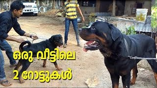 TWO ROTTWEILER  DOGS WITH EXTREMELY DIFFERENT CHARACTORS l ROTTWEILER DOG