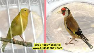 How to produce a hybrid European goldfinch and Canary bird