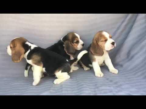 Vendita beagle cuccioli - allevamentp/pedigree