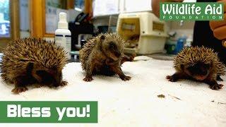 Cute Baby Hedgehogs Sneezing