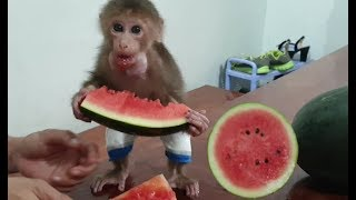 Funny Monkey Loves Watermelon