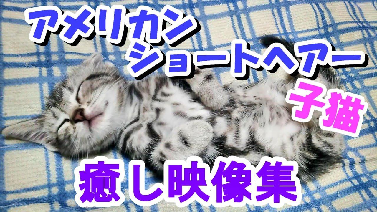 アメリカンショートヘアーの子猫 癒し映像集!かわいすぎるアメショ