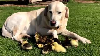 Утиные истории: в Британии пёс ухаживает за птенцами-сиротами