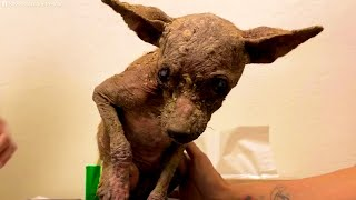Rescue Little Hairless Puppy Who Looked Like A Mummy Dog